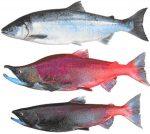 Какая бывает рыба красная – список названий видов. Как называется самая дорогая разновидность рыбы с красным мясом? Какие бывают недорогие сорта?