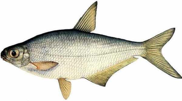Берш - стайная хищная рыба, схожа по форме и телом воды 15 - 17